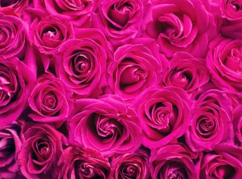 pink-roses-2249403_960_720